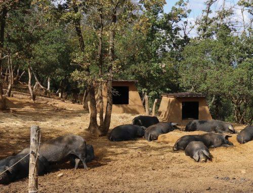 L'allevamento biologico dei maiali