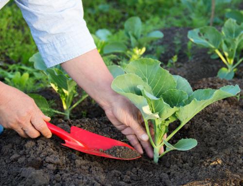 Il mese di agosto nell'orto tra semine, lavori e raccolti