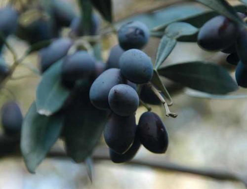 La coltivazione biologica dell'olivo