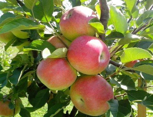 Le mele bio sono più convenienti delle mele convenzionali.