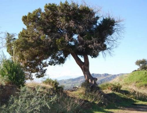 Il Ginepro Fenicio: donata lunga vita e dignità ad una pianta storica ormai dimenticata