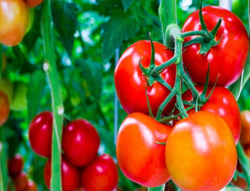 Le regole per innaffiare correttamente i pomodori