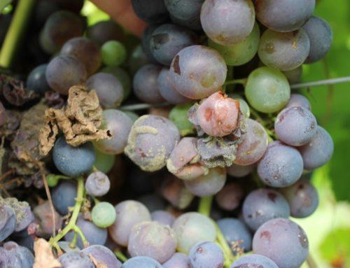 La botrite o muffa grigia della vite: prevenzione in agricoltura biologica