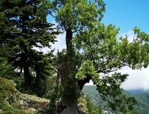 Ecco Demetra, è la quercia più antica del pianeta e si trova in Aspromonte