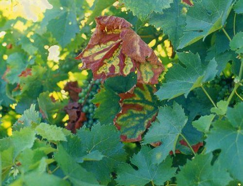 Appello alle aziende viticole: partecipate al monitoraggio sul mal dell'esca.