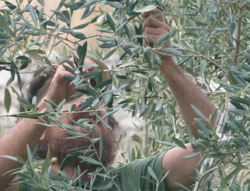 L'importanza di una buona potatura dell'olivo